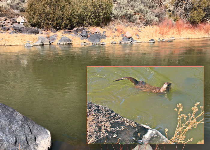 Share with Wildlife, New Mexico – Project Highlight: Evaluating Otter Reintroduction Success