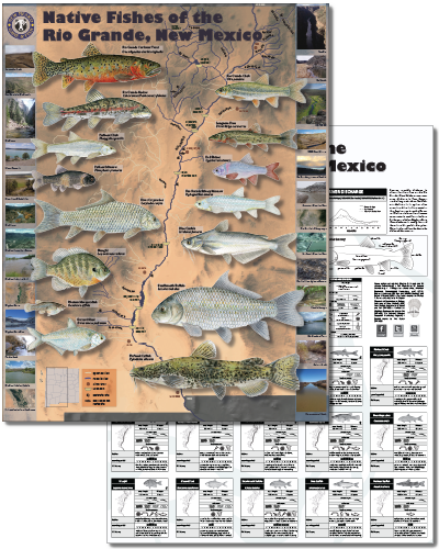 Native fishes of the Rio Grande, New Mexico (click for New Mexico Department of Game and Fish PDF poster).