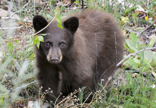 Bear Cub - Department of Game and Fish reminds public to leave young wildlife alone, New Release 7-7-2018