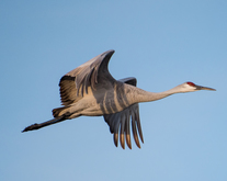 Apply now for special Sandhill crane and pheasant hunts, News Release 7-23-1018, New Mexico Department of Game and Fish