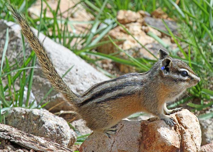 Share with Wildlife, New Mexico – Project Highlight: Picky Chipmunks