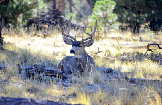 The Land of Enchantment offers ample opportunities for hunters to pursue deer.