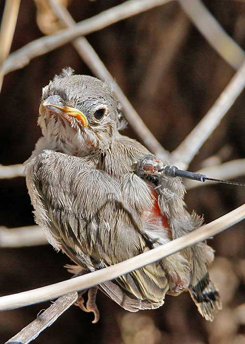 Gathering Data on Young Vireos- Project Highlight- Share with Wildlife, New Mexico Department of Game and Fish