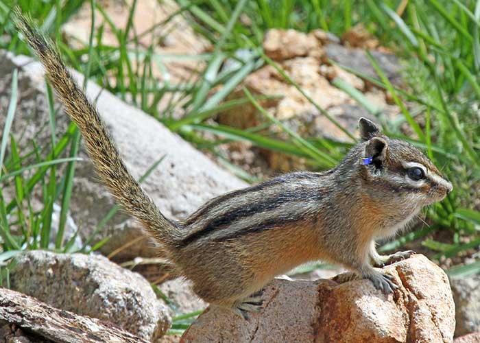 Rare Chipmunks, Project Highlight- Share with Wildlife, New Mexico Department of Game and Fish