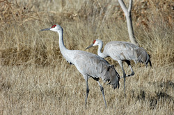 Apply now for sandhill crane and pheasant draw permits, New Release, New Mexico Department of Game and Fish, July 13, 2020