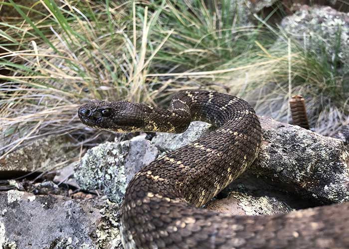 Tracking a Rare Snake - Share with Wildlife – Project Highlight - NMDGF