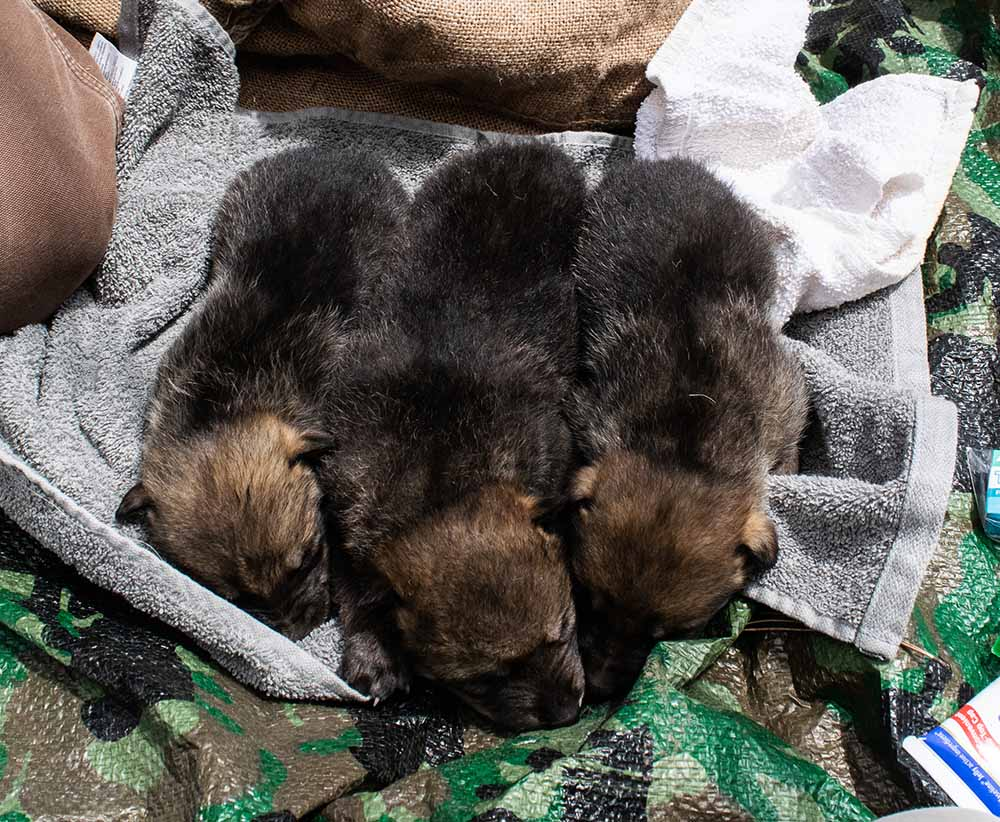 NMDGF News - DEC. 17, 2020:   At Least Seven Mexican Wolf Pups Successfully Cross-Fostered into Wild Packs