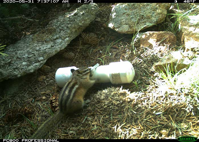 Delving into a Chipmunk's Life History - Share with Wildlife – Project Highlight - NMDGF